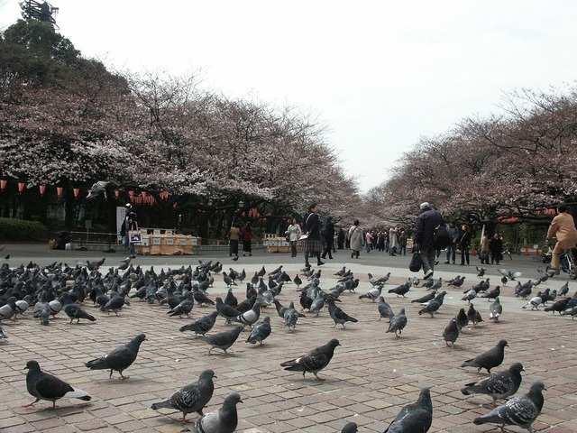 Parc d'Ueno, district de Taito meilleur moment pour visiter début avril