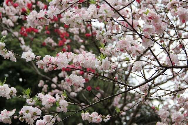 Shinjuku Gyoen, Shinjuku-ku meilleur moment pour visiter début avril