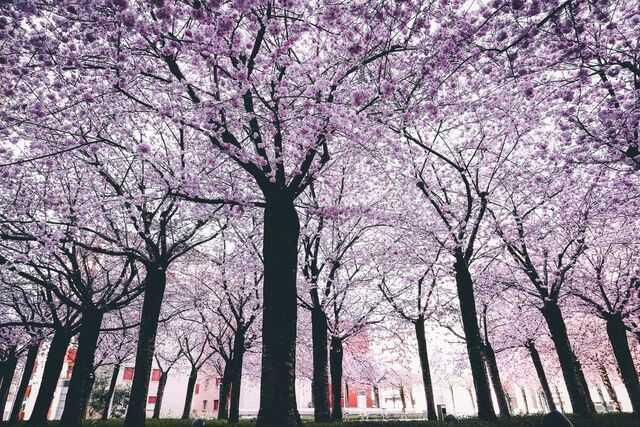 Le Meilleur Moment Pour Voir Des Cherry Blossom Au Japon